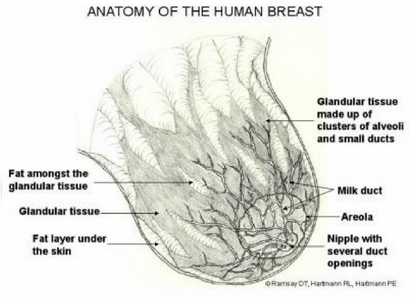 human-breast-anatomy